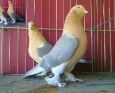 Два коричневых голубя Такла