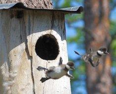 Птенцы покидают гнездо