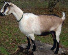 Альпийская коза крупным планом