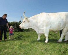 Крупный белый бык