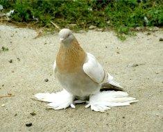 Голубь породы туркменский агаран сидит на песке