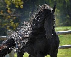 Фризская лошадь крупным планом