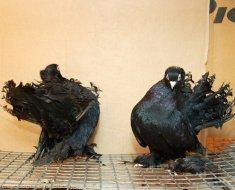 Породистые темные голуби