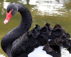 Черный лебедь с кудрявыми перьями
