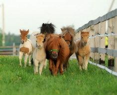 Маленькие лошадки в загоне