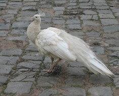 Белая самка