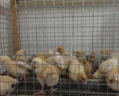 Цыплята за сеткой
