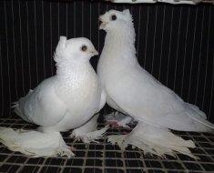 Хохлатые бойные голуби