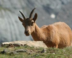 Молодая козочка западнокавказского подвида