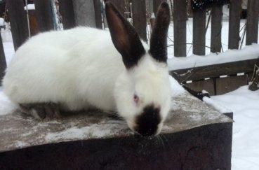Кролики хорошо переносят зимние морозы