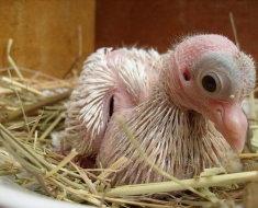 Новорожденный птенец голубя крупным планом