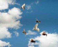 Полет бойных голубей