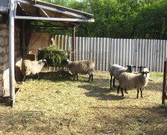 Баран и овцы на подворье