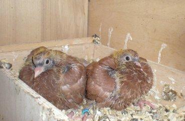 Практически оперившиеся птенцы
