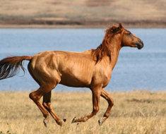 Донской конь мчится в поле
