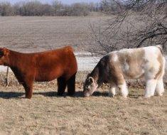 Две пушистые коровки на выгуле