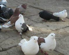 Стайка Мариупольских голубей
