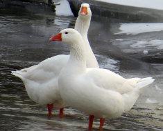 Два белых Губернаторских гуся