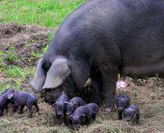 Черная крупная свинья