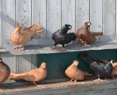 Разноцветные Тульские голуби