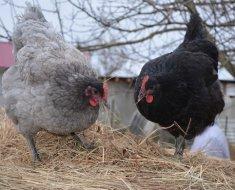 Голубая и черная курица