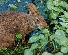 Болотный кролик кушает листья