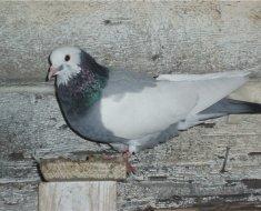 Бакинский бойный голубь сидит