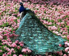 Роскошный самец на цветах