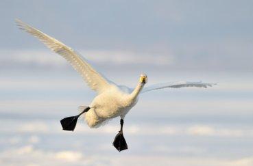 Летящий лебедь