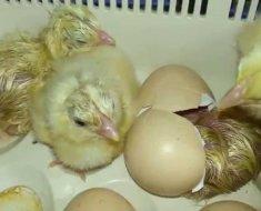 Загорские цыплята вылупляются