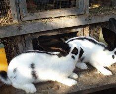 Кролик породы бабочка бело-черный