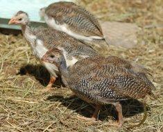 Бройлерные птенцы