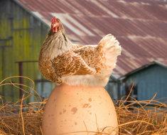 Курица сидит на яйце