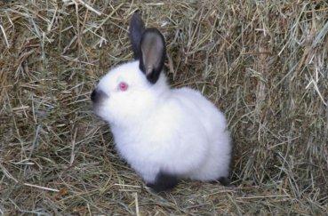 Подросший крольчонок калифорниец