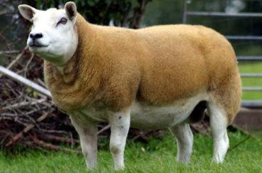 Овца тексель на лугу