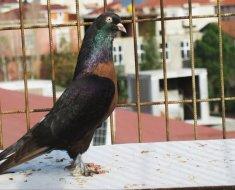 Темный голубь Такла