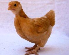 Маленький цыпленок породы Орпингтон