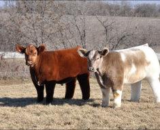 Комолая корова из Айовы