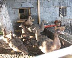 Утки в дворике возле своего дома