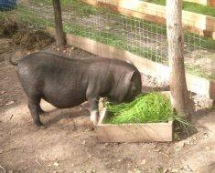 Кормление травоядной свиньи