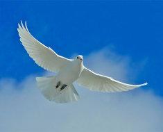 Белый голубь в полете