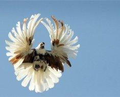 Крылья голубки в расправленном виде