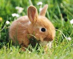 Маленький рыжий кролик