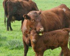 Редпол (красные комолые коровы)