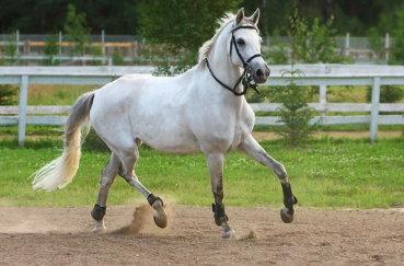 Терская лошадка в загоне