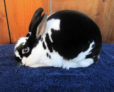 Карликовый кролик породы рекс