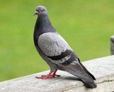 Городской серый голубь