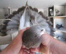 Торцовый голубь с раскрытым хвостом