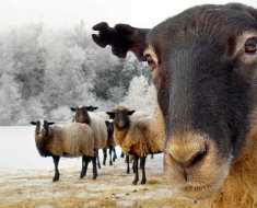 Любопытная романовская овечка