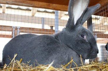 Тёмно-серый кролик
